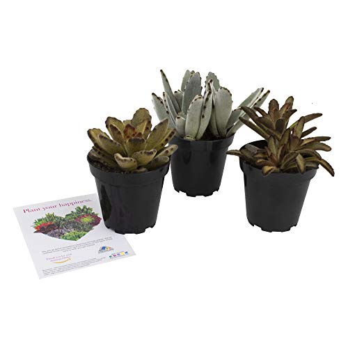 "Altman Plants Assorted Live Fuzzy Succulents Large soft touchable plants, great addition to any planter 3.5"" 3 Pack"