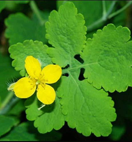 FERRY Bio-Saatgut Nicht nur Pflanzen: + Rare Schöllkraut-Samen Chelidonium Majus + Free Geschenk