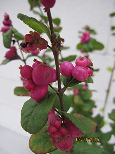 Symphoricarpos doorenbosii Magic Berry - Amethystbeere Magic Berry