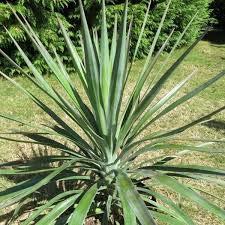 Yucca Aloifolia | 40 CM | Livraison Gratuite