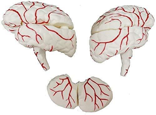 ZLF Same day shipping Human Torso Model Accurate Mo Anatomically Superior Brain