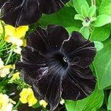 ASTONISH Sgomento SEMI: 9: 100pcs / bag semi Man sanderi, Dipladenia sanderi semi, fiore pianta bonsai per la decorazione della casa e muro del cortile pentola 9