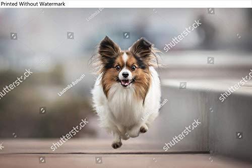 KwikMedia Poster of Playful Papillon Running for The...