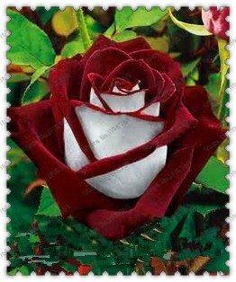 Bande buissons Fleur Rose Graines 300 pcs rares Graines de Bush Fleur Rose Jaune Rouge Rose Violet Jardin bonsaï Plante exotique Livraison gratuite