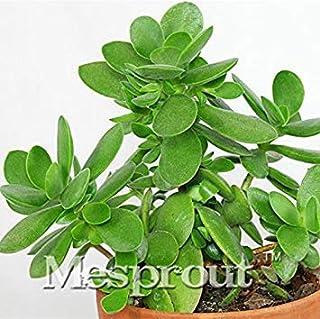 20個盆栽クラッスラ卵母種子盆栽。家庭菜園のための珍しい日本のクラッスラOvataの種バルコニーの植物
