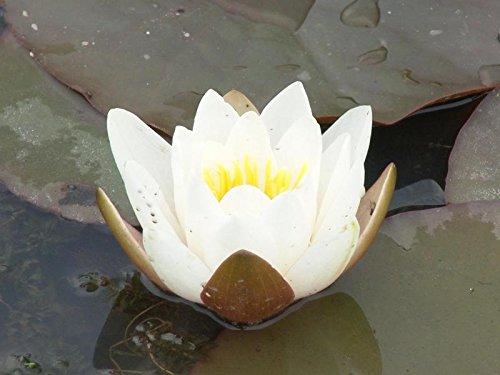 Nymphaea Richadsoni weiße Seerose nur für kurze Zeit zu dem Preis.