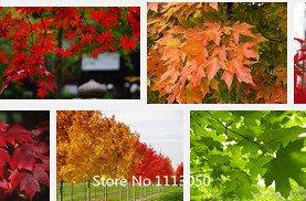 Promotion 50 PCS Violet Graines de Maple rare dans le monde du Canada est un beau plantes Violet Maple Bonsai graines d'arbres \