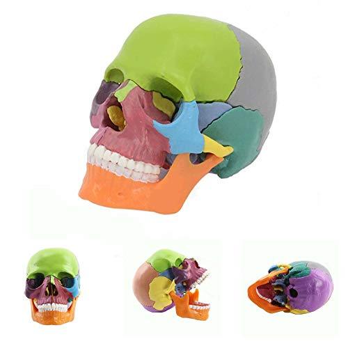 Danping Modelo anatómico del cráneo humano Huesos pintados de colores - Medical Training