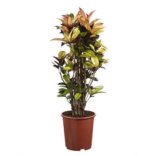 Hellogreen Zimmerpflanze - Croton Codiaeum Iceton - Höhe: 120 cm - Luftreinigend