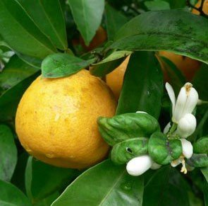 Best Price Neroli 100% Pure Essential Oil 250ml