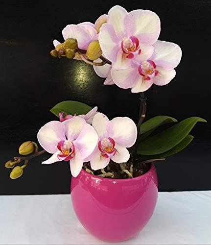 ORCHIDEA PHALAENOPSIS SMART PINK IN VASO CERAMICA FUCSIA SFERICO, pianta vera