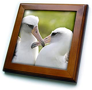 3dRose ft_89882_1 NW Hawaiian Islands, Laysan Albatross Bird - US12 RJA0026 - Rebecca Jackrel - Framed Tile, 8 by 8-Inch
