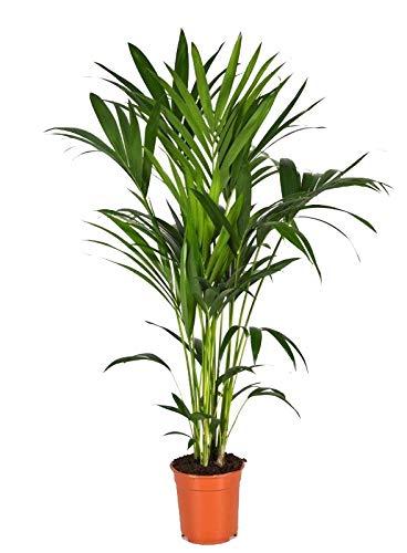 Kentia-Palme, (Howea Forsteriana), wunderschöne Zimmerpflanzepalme, sehr pflegeleicht (ca. 120cm hoch, im 21cm Topf)