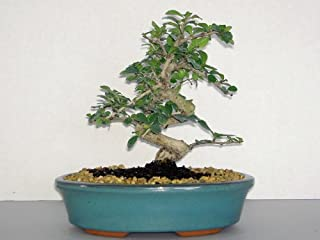 LOU'S BONSAI NURSERY WHITE FLOWERING IMPORTED FUKIEN TEA BONSAI TREE