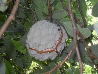 8 Fresh Ilama seeds (Annona diversifolia) Rare exotic fruit from Mexico! ilama tropical fresh seeds. graines. annonaceae. anona, RARE FRUIT hard to find