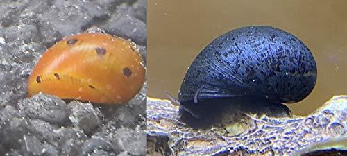 Topbilliger Tiere Schneckenmix 3X Orange Track Rennschnecke - Neritina turrita 3X Anthrazit - Napfschnecke Stahlhelmschnecke