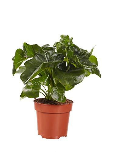 Philodendron Atom – Planta de interior | Altura 40 cm | Maceta 12 cm | Fácil cuidado