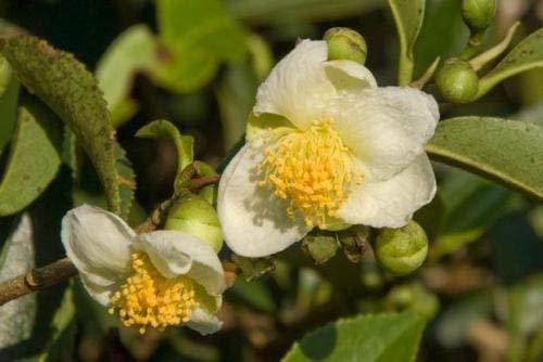 vegherb 10 Samen Camellia Sinensis Teepflanze Wachsen Sie Ihre Selbst Tee! Weiße Blüten