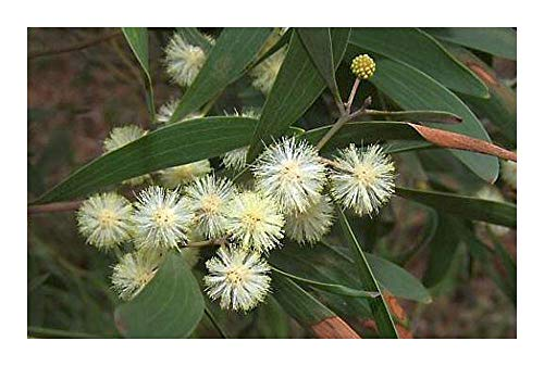 Acacia melanoxylon - Acacia à bois dur - 100 graines