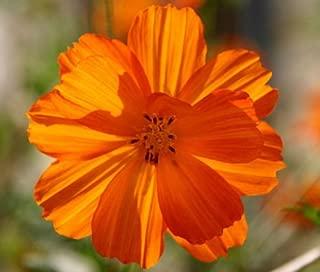 Cosmos Sulphur Orange Dwarf Cosmos Sulphureus - 100 Seeds
