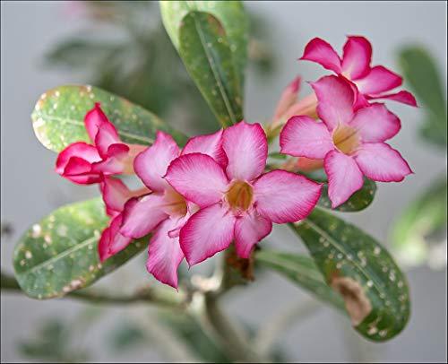 PLAT FIRM GRAINES DE GERMINATION: Adenium obesum ROSE TRIPLE FLEURS DESERT\