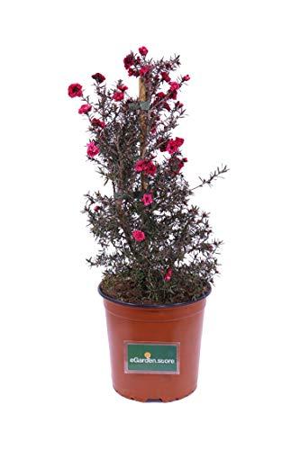 Pianta di Leptospermum Scoparium Pianta di Manuka pianta da esterno pianta ornamentale pianta in vaso di Leptospermum pianta vera di Manuka venduta da eGarden.store (Rosso)