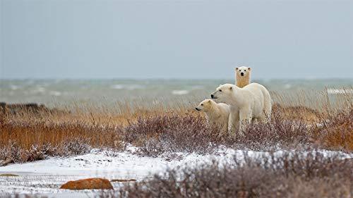 Rompecabezas De 1500 Piezas, Osos Polares Cerca De Churchill Hudson Bay, Canadá, Puzzle Juguete De Madera Decoración De Interiores