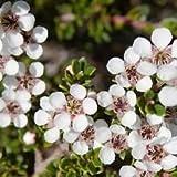 20 Leptospermum Scoparium Manuka árbol de té semillas...