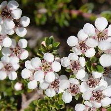 20 Südseemyrte Manuka Teebaum Samen Compact Evergreen Wild Rose Blumen