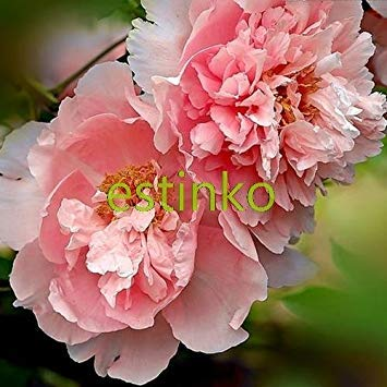 ASTONISH SEEDS: 10pcs / lot raras coloridas Semillas doble Blooms Peony del árbol de la herencia Sorbete Ro Bonsai Plantas de jardín