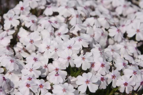 Keland Garten - 50pcs Rarität Teppich-Flammenblume Phlox Blütenteppich Feuerwerk Bodendecker, Blumensamen Mischung mehrjährig winterhart für Garten/Balkon