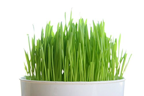 Todds Seeds, Wheatgrass Seeds, One Pound, Cat Grass Seeds, Hard Red Wheat