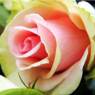 200pcs / pack Rare Pays-Bas Rainbow Rose Flower Seed Outdoor Blooming Bonsai Plante en pot d'ornement pour jardin Décor Livraison gratuite 7