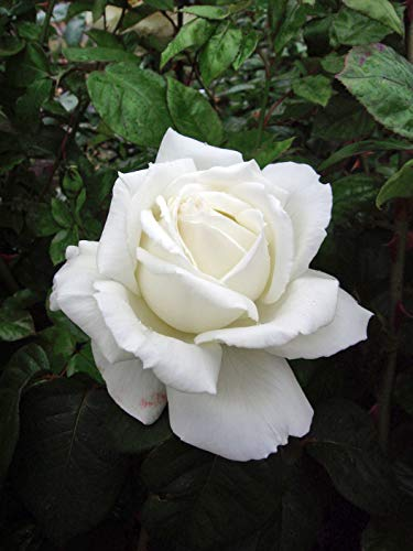 Rose Silver Wedding Anniversary-Silver Wedding Anniversary, 25th Wedding Anniversary Gifts