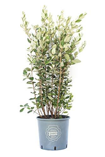 Acca sellowiana, Feijoa, Vannucci Piante, Pianta sempreverde da siepe, da terrazzo.