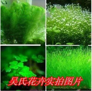 Pinkdose 100 pcs/sac plants d'herbe de graines de gazon nouveau aquarium de poissons d'aménagement paysager décoratif aquarium pelouse eau graines aquarium: Multicolore