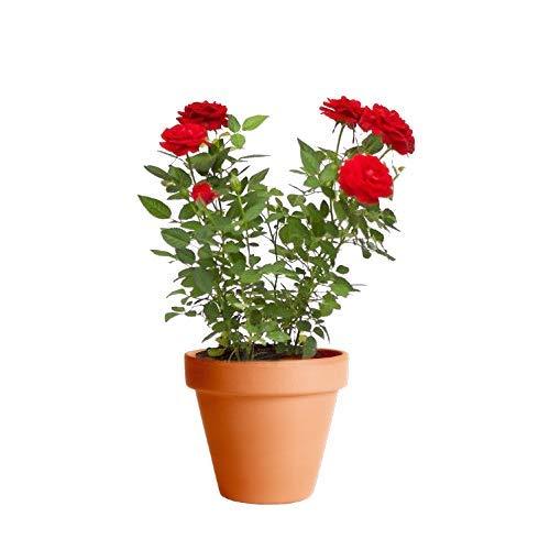 Rosal Mini Rojo con Maceta de Cerámica Planta Natural con Flor Ideal para Regalar