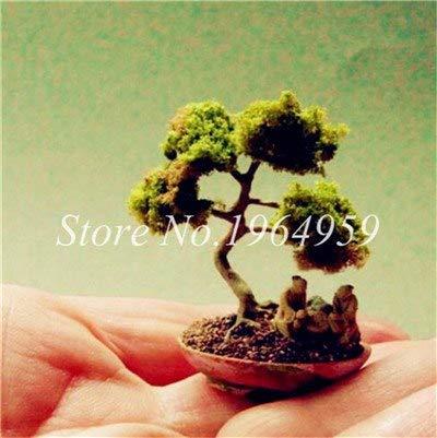 Shopmeeko Graines: Bonsai 30 Pcs coloré Arbre mixte Bonsai Starter Juniper japonais -Juniperus PROCUMBENS & # 39; Nana & # 39; Plante en pot Absorber gaz nocifs: 9