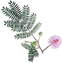100 Sensitive Plant Seeds - Mimosa Pudica, Moving Plant, Shy Plant, Shameful Plant, Touch-me-not - By RDR Seeds