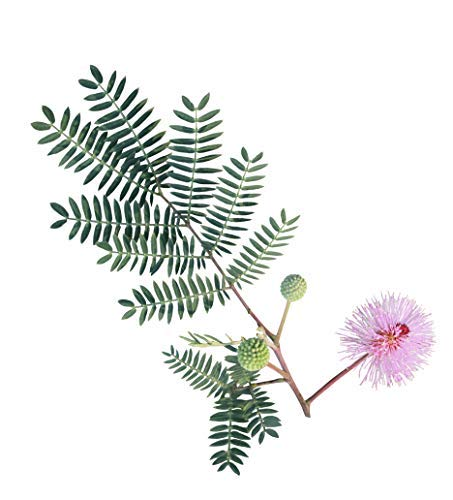 100 Sensitive Plant Seeds for Planting - Mimosa Pudica, Moving Plant, Shy Plant, Shameful Plant, Touch-me-not - by RDR Seeds