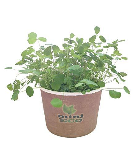 MiniEco Luzerne Alfalfa Micro pousses Graine à Germer Bio. Environ 7g de Graines. Kit de Culture Germes. Plantules Cultiver Planter Plante Croissante Légume Semence Microgreens Compost