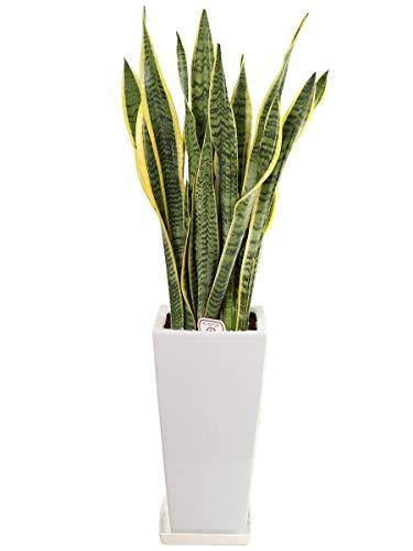 観葉植物サンスベリア7号角高陶器鉢(白)