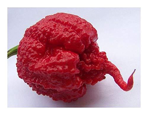 Chili Carolina Reaper - schärfster Chili der Welt - 10 Samen