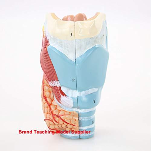 Anatomisches Modell des menschlichen BH, Schützer Schnitt des Larynx und des Larynx, 2 Stück, für Forschung und medizinische Ausbildung