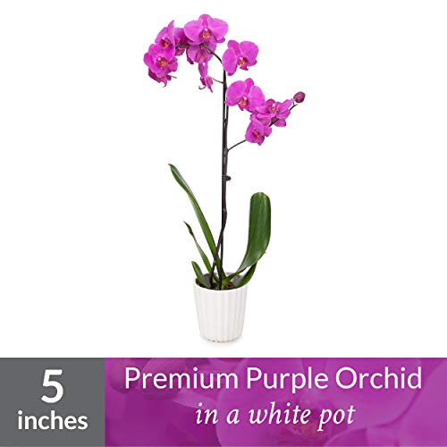 "Just Add Ice J424 Orchid Easy Care Live Plants 5"" Diameter Purple"