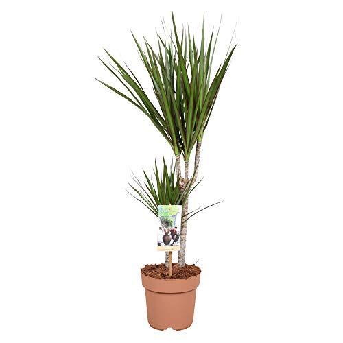 Dracaena marginata | Drachenbaum | Höhe 70-80 cm | Topf-Ø 17 cm