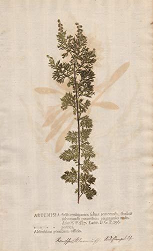 Artemisia foliis multipartitis subtus tomentosis, floribus... - Roman wormwood Pontischer Beifuß small absinthe Botanik botany botanical