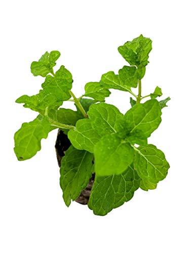 Marokkanische Minze   kleine Minze Pflanzen   echte Minze   Aromatisch   Winterhart   Mentha spicata   ⌀3,5cm Wurzelballen (6)