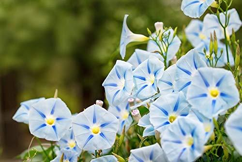 Morning Glory Bleu étoile Graines Ipomée tricolore