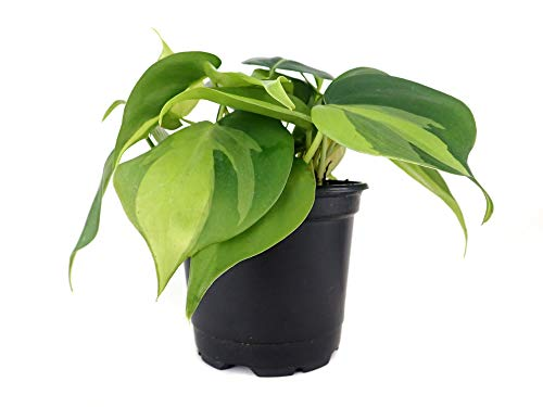 Philodendron cordatum 'Brasil' (4″ Pot)
